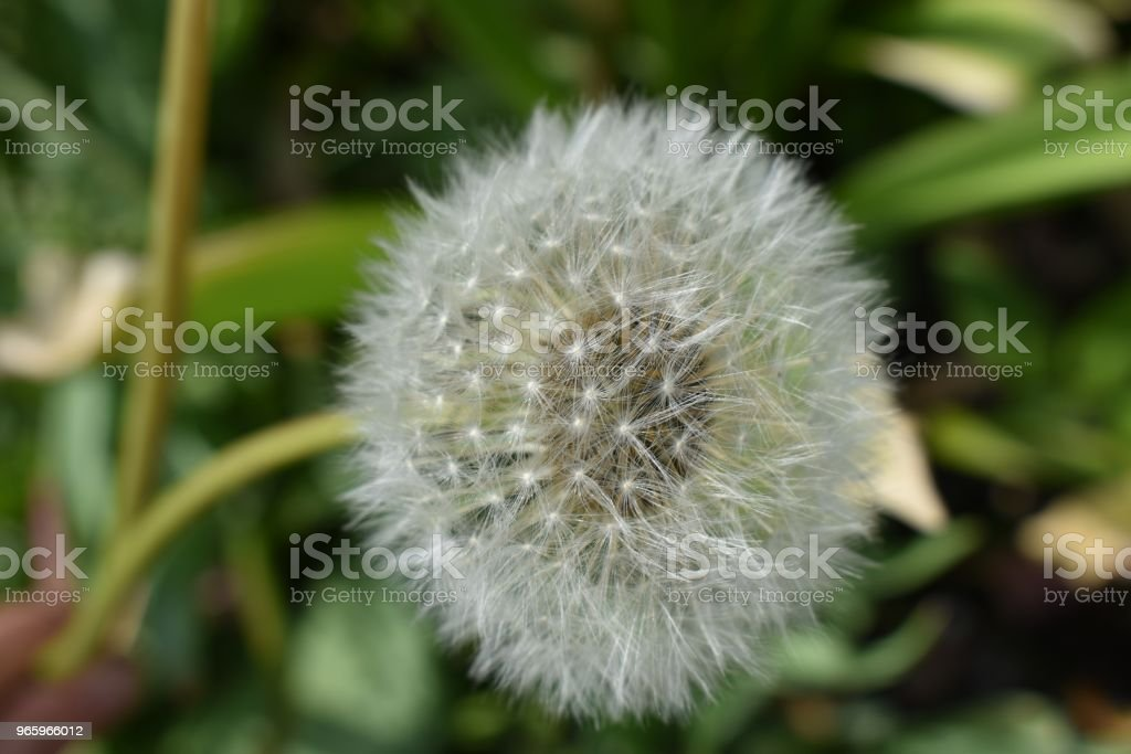 Pusteblume - Lizenzfrei Blume Stock-Foto