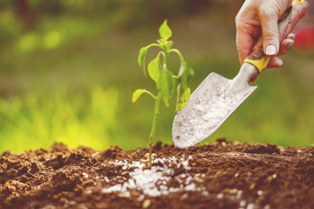 put some fertilizer gmo or poison in shovel in the soil under small plant stock photo