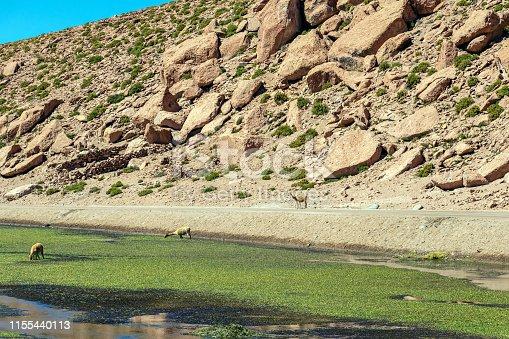 Putana River (Vado Rio Putana) with its wildlife flora and fauna, which includes llamas and vicunas, San Pedro de Atacama, the Atacama Desert, Antofagasta, Chile