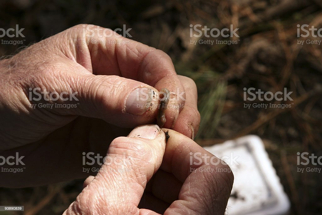 Putting worm on a hook royalty-free stock photo