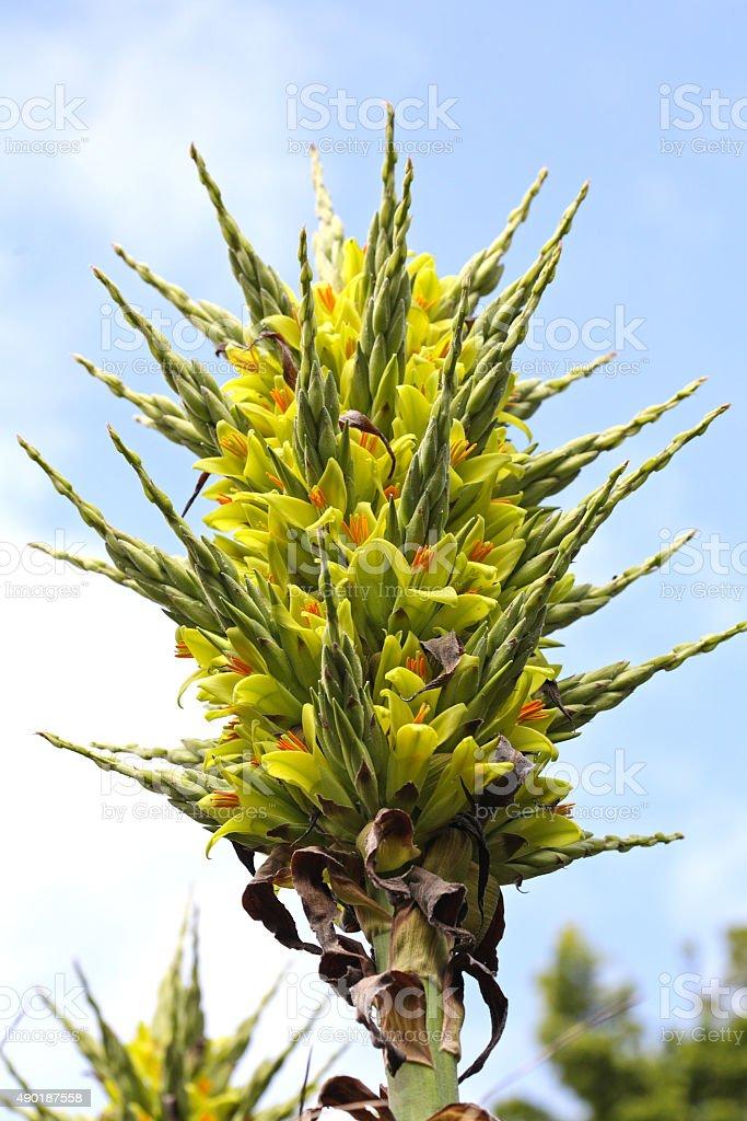 Puya chilensis stock photo