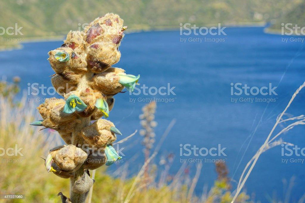 Puya clava-herculis bromelia at Cuicocha Crater Lake stock photo