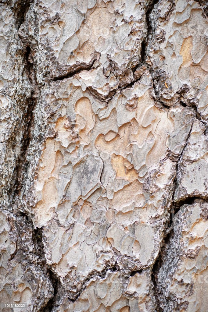 puzzle bark on Jeffery pine, Pinus jeffreyi stock photo