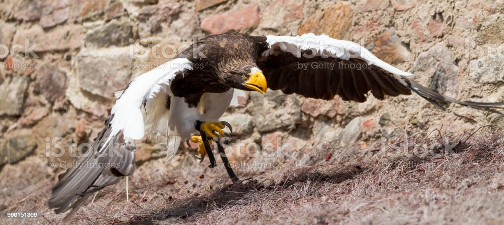 Pygargue de steller -  steller sea eagle - Royalty-free Animal Foto de stock