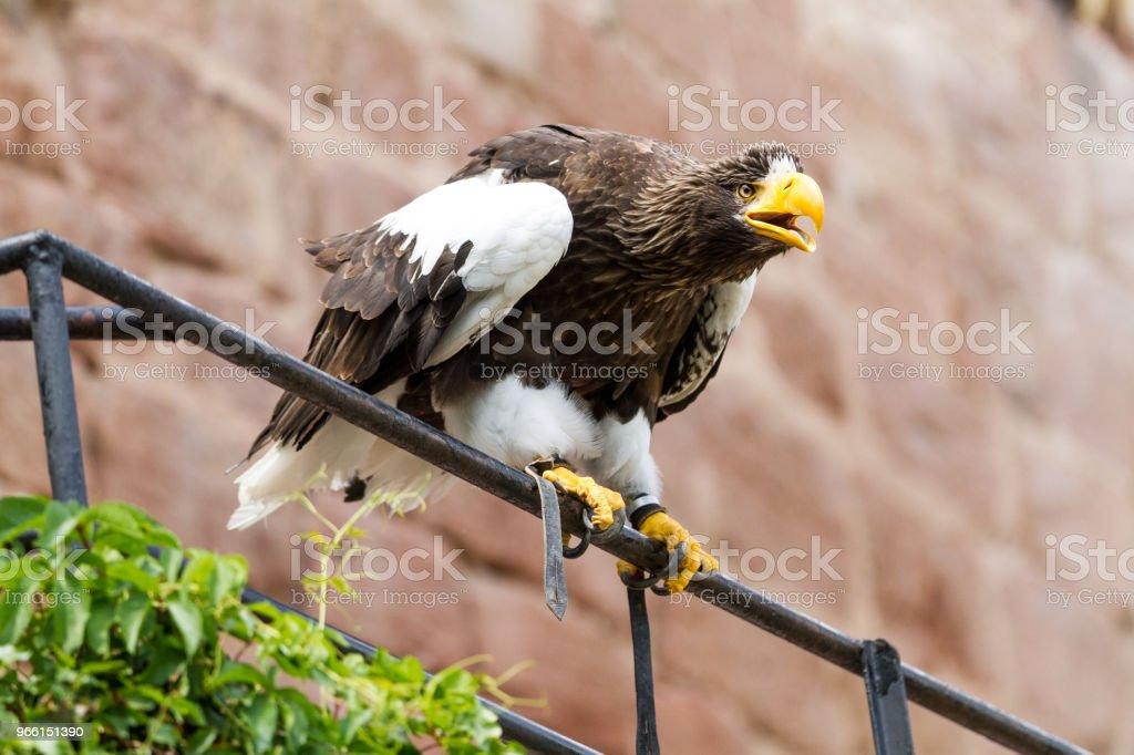 Pygargue de Steller - Steller Seeadler - Lizenzfrei Adler Stock-Foto