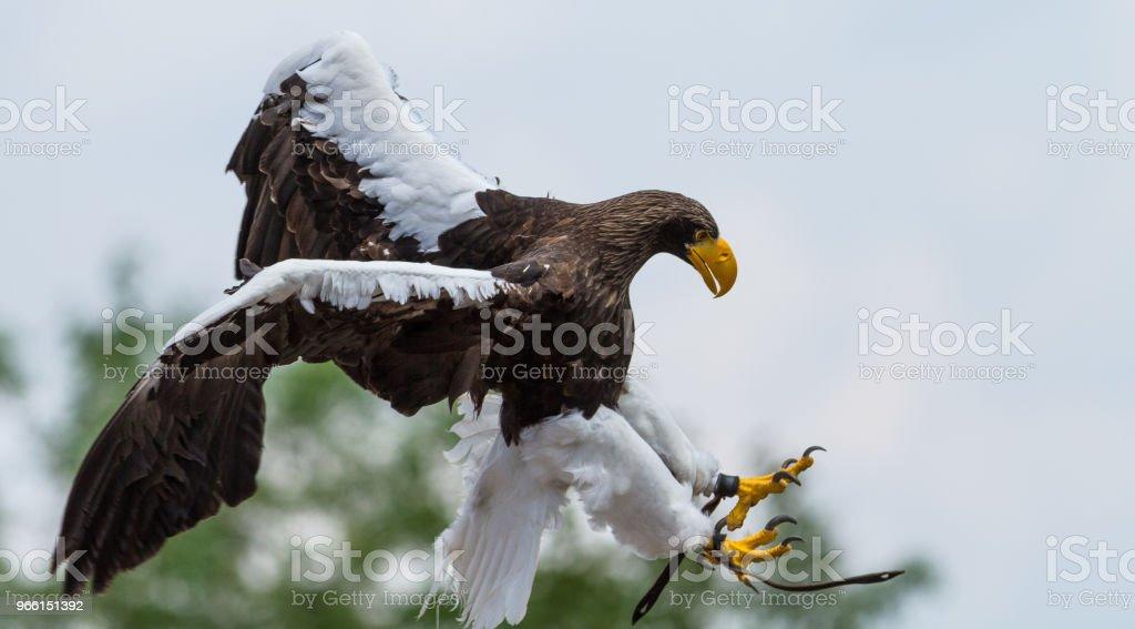 Pygargue de steller - Stellers sea eagle - Royaltyfri Arktis Bildbanksbilder