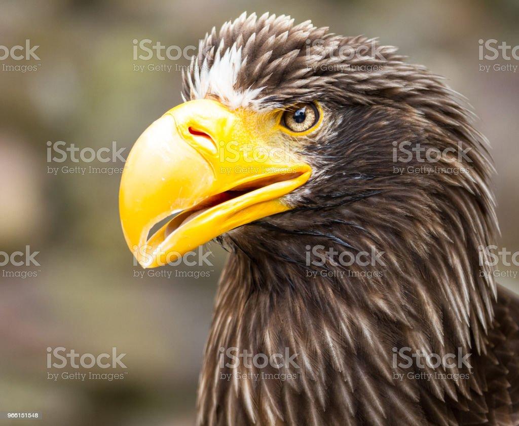 Pygargue de steller -  steller sea eagle - Foto stock royalty-free di Ambientazione esterna