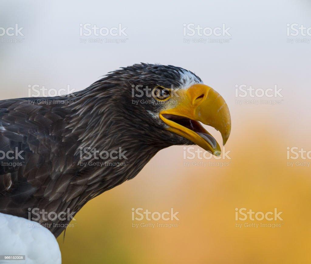 Pygargue de steller -  steller sea eagle - Стоковые фото Азия роялти-фри