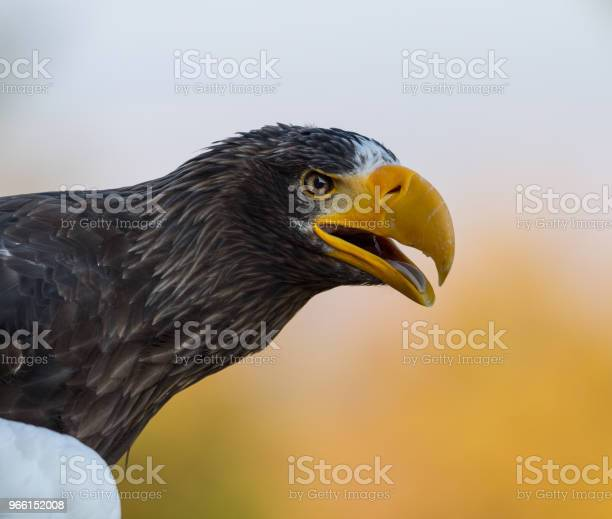 Pygargue De Steller Steller Sea Eagle — стоковые фотографии и другие картинки Азия
