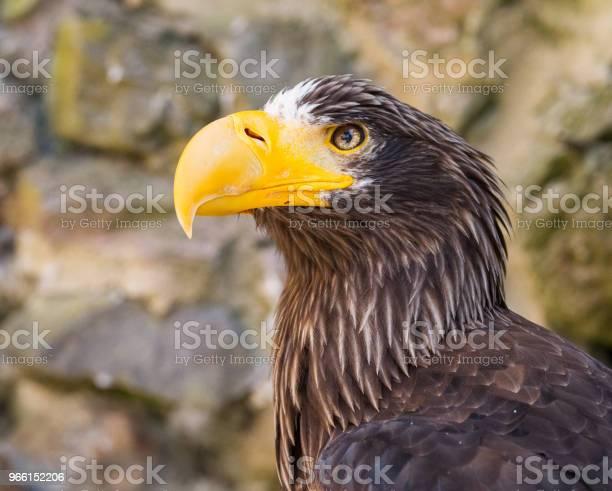 Pygargue De Steller Steller Sea Eagle - Fotografias de stock e mais imagens de Animal