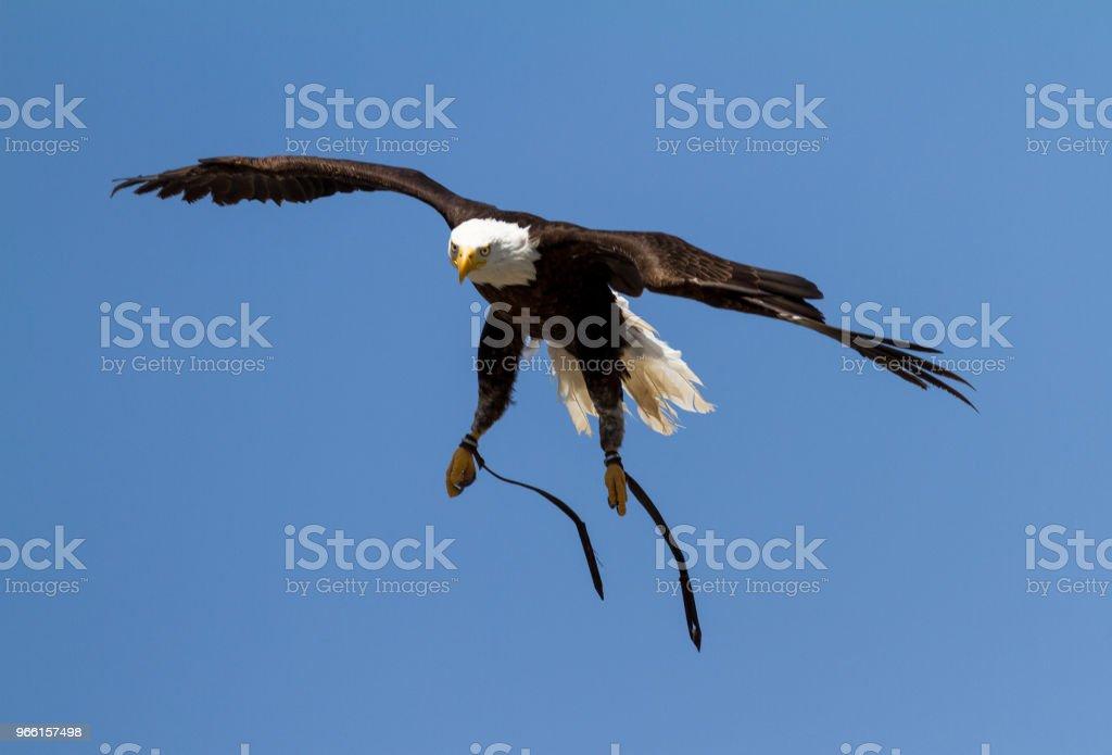 Pygargue à tête blanche - Bold Eagle - Royaltyfri Amerikansk kultur Bildbanksbilder