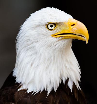 Pygargue À Tête Blanche Bold Eagle — стоковые фотографии и другие картинки Американская культура