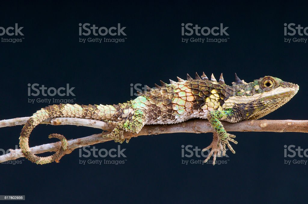 Pygmy agama / Cophotis ceylanica stock photo
