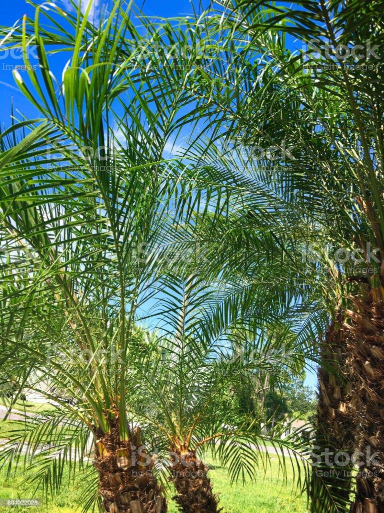 Pygmy Date Palm tree or Pheonix Roebelenii in Port Charlotte Florida, USA stock photo