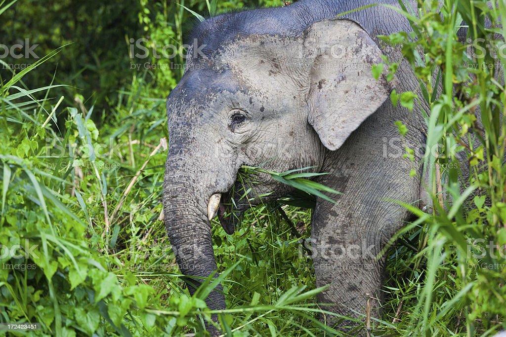 Pygmy Elephant on the Jungle, Borneo royalty-free stock photo