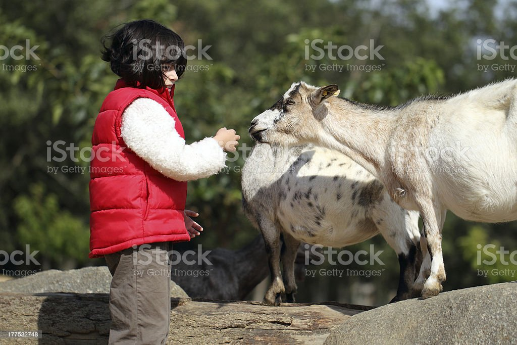 Pygmy goat and girl stock photo