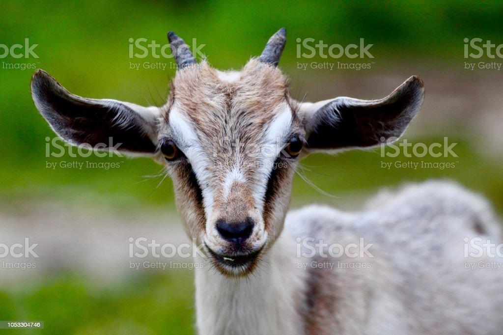 Pygmy Goat at the Farm stock photo