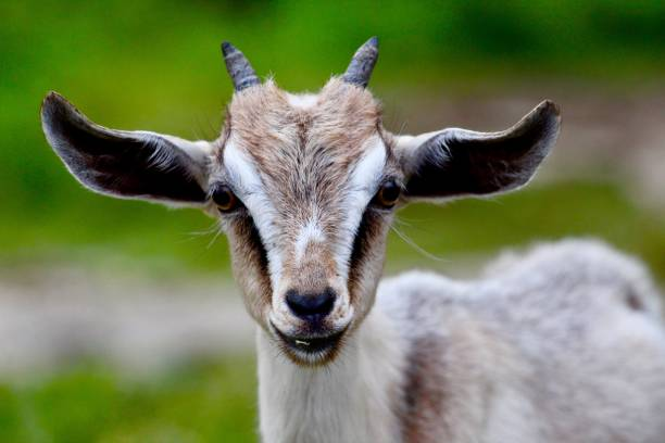 Pygmy Goat at the Farm stock photo