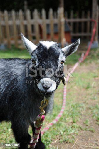 A black grey and white pygmy goat on a leash looking at the camera with a fenced area in the background. Shot vertical with a Nikon D700.