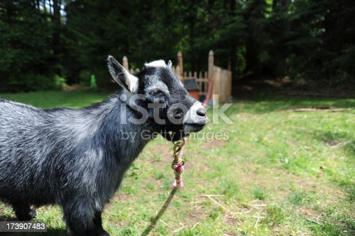 A Pygmy goat looking away from the camera with a fence pen in the background. Shot horizontal with a Nikon D700.