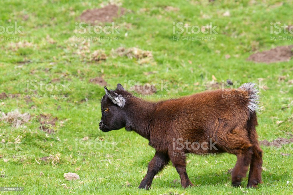 Pygmy Goat Stock Photo & More Pictures of Agriculture   iStock