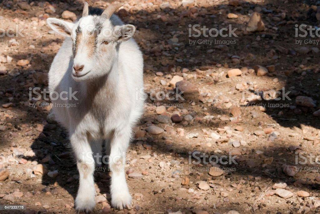 Pygmy Goat stock photo