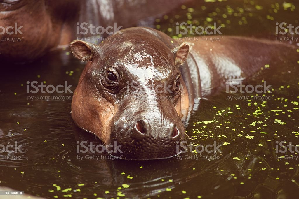 Pygmy hippopotamus, animals, mammals and herbivorous. stock photo