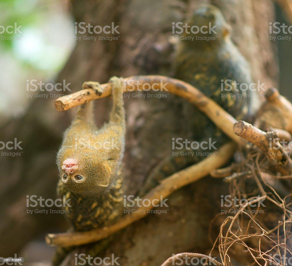 Pygmy marmoset fooling around the tree. stock photo