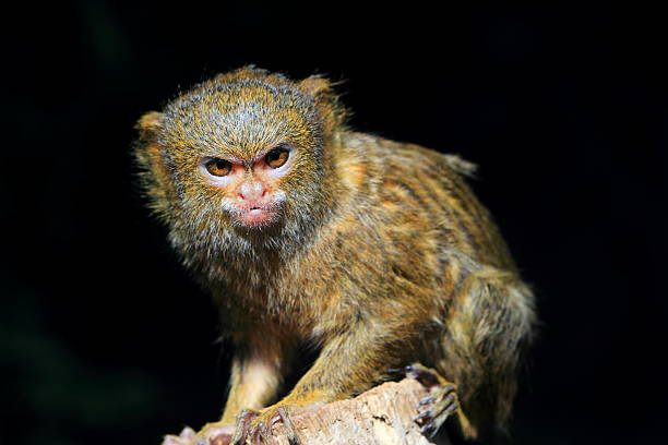 Pygmy Marmoset Pygmy Marmoset marmoset stock pictures, royalty-free photos & images
