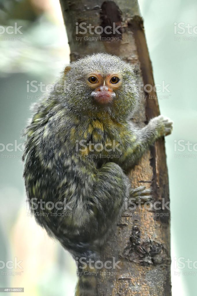 Pygmy marmoset (Cebuella pygmaea) stock photo
