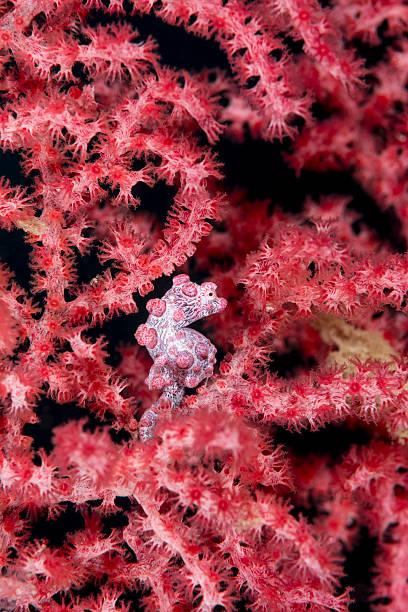pygmy sea horse - hippocampus bargabanti stock photo
