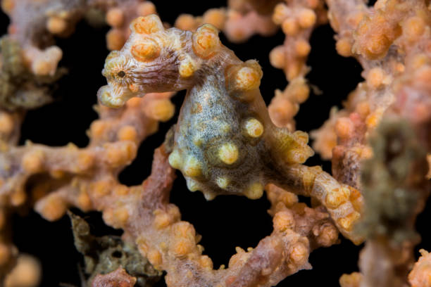 Pygmy seahorse in Lembeh Strait, Indonesia stock photo
