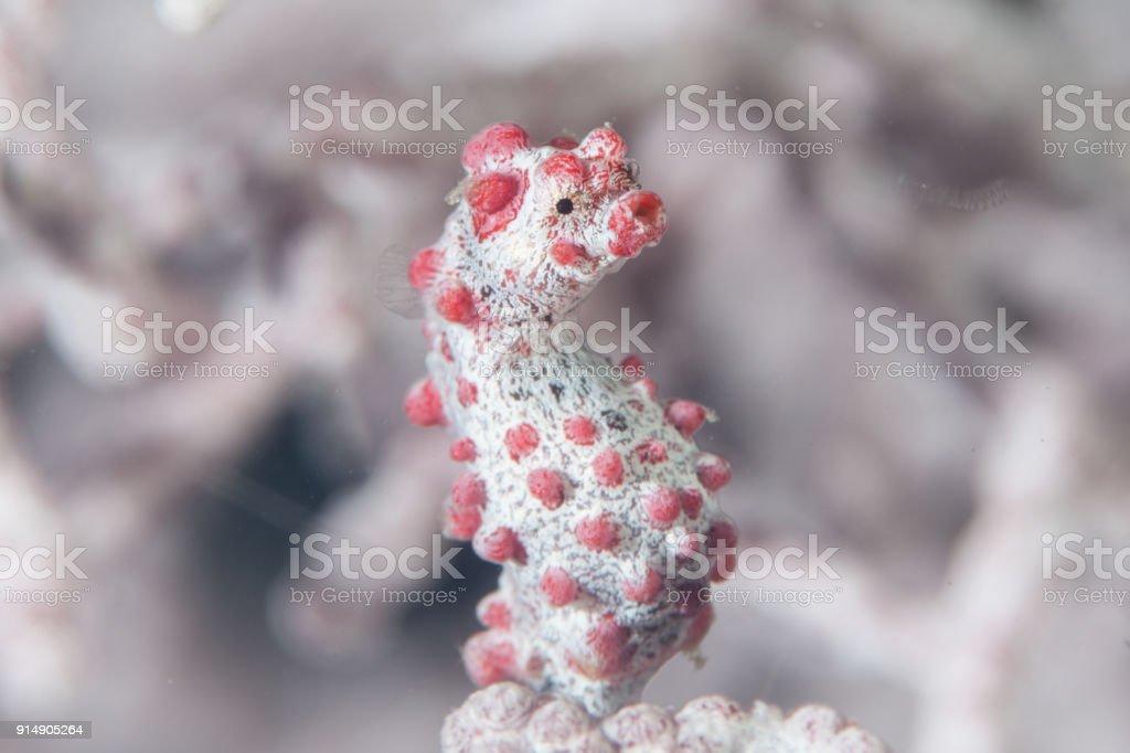 Pygmy Seahorse Underwater stock photo
