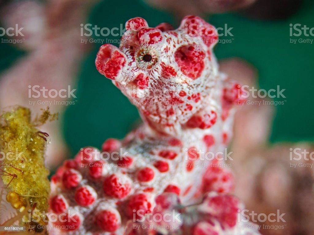 Pygmy Seahorse, Zwergseepferdchen (Hippocampus bargibanti) stock photo