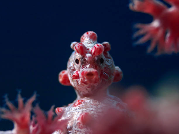 Pygmy Seahorse, Zwergseepferdchen (Hippocampus bargibanti) Underwater close-up photography of a pygmy sea horse. manado stock pictures, royalty-free photos & images