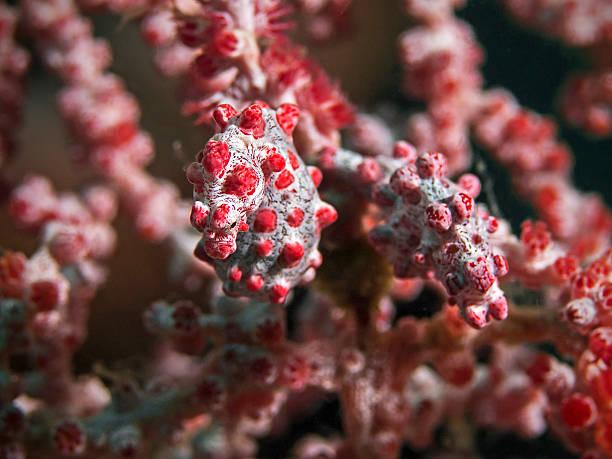 pygmy seahorses, zwerg-seepferdchen (hippocampus bargibanti) - flecktarn stock-fotos und bilder