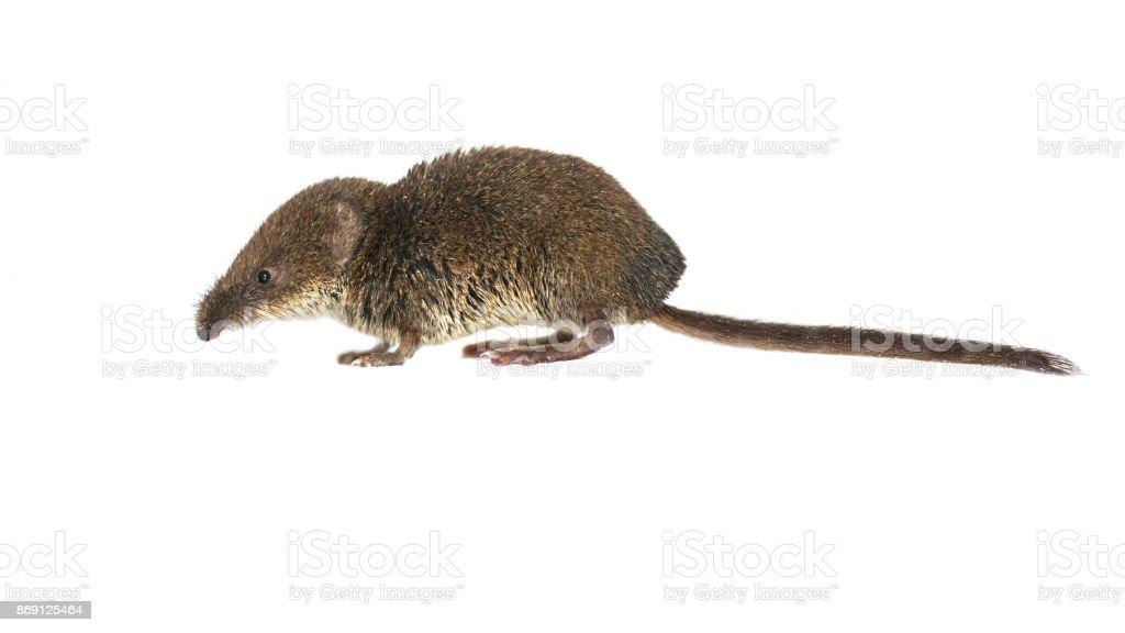 Pygmy shrew on white stock photo