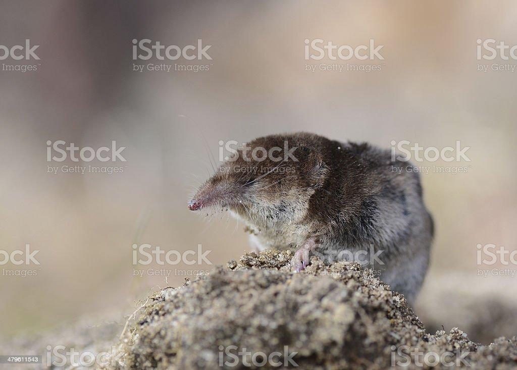 Pygmy Shrew stock photo