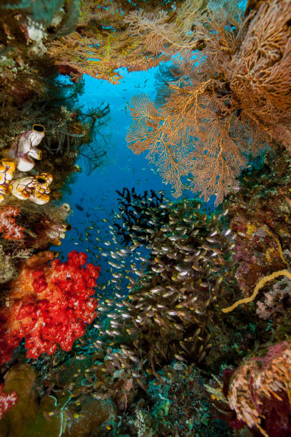 Pygmy Sweepers Parapriacanthus ransonneti in Colorful Frame, Raja Ampat, Indonesia stock photo