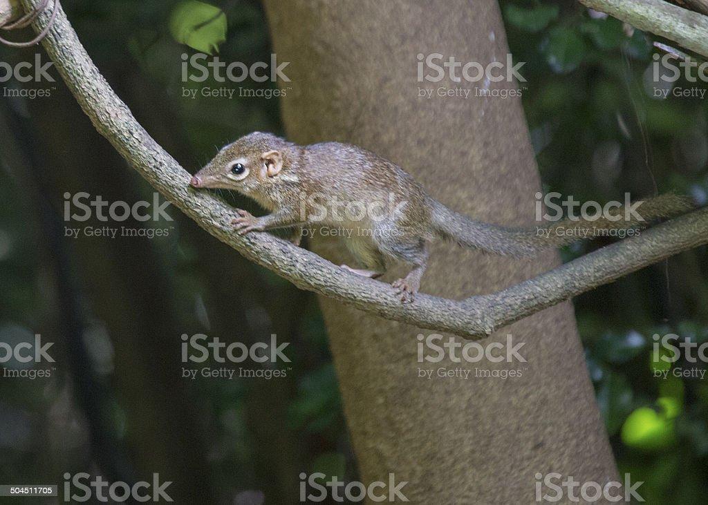 Pygmy Treeshew stock photo
