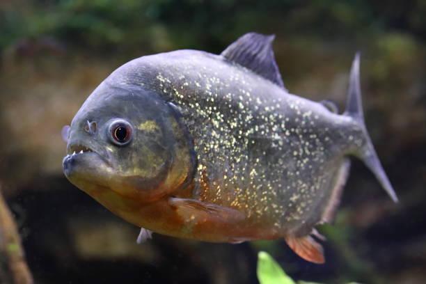 pygocentrus nattereri. piranha with mouth open - pirania zdjęcia i obrazy z banku zdjęć