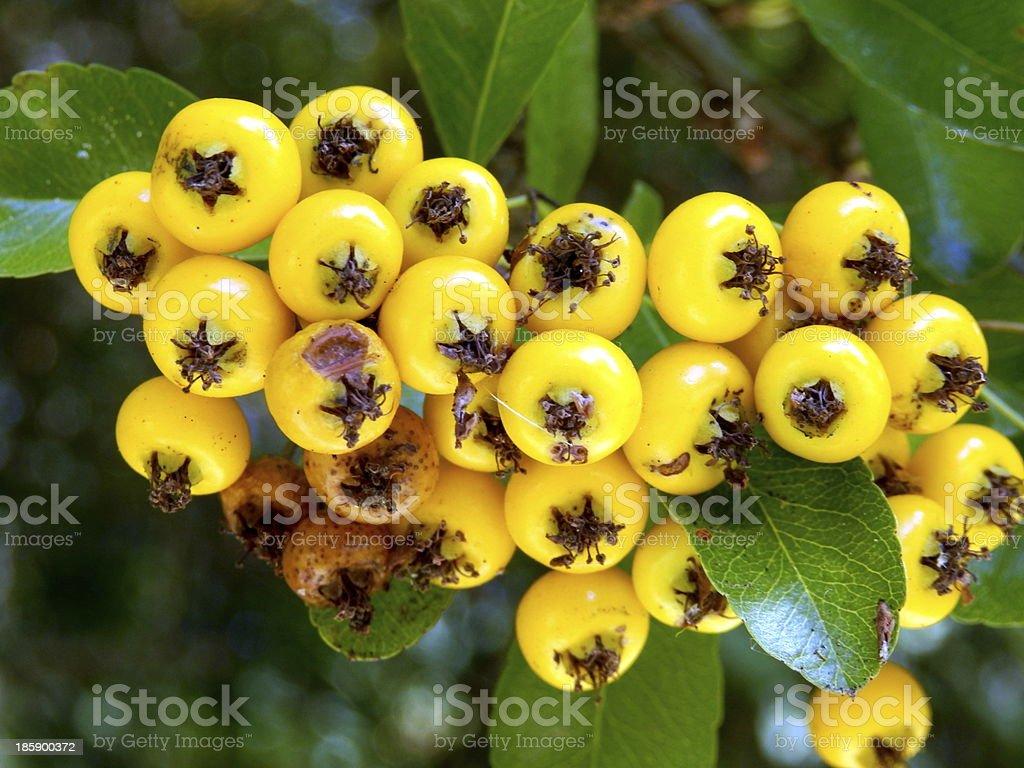 Pyracantha fruits rouges - Photo