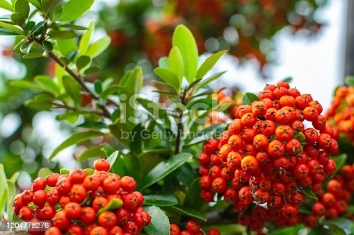 Pyracantha bush with bright orange berries on the sea coast, a wonderful organic antioxidant for health and beauty. Autumn nature background with copy space.
