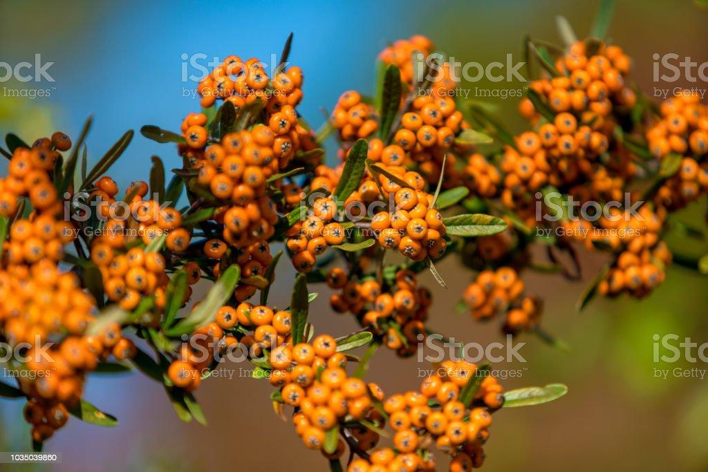 Pyracantha coccinea. baies sur une branche - Photo