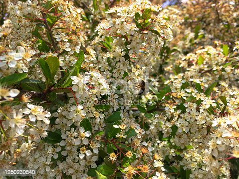 Close-up of a Beautiful background nature with a Pyracantha Coccinea with plenty of white Flowers with some bees exploring the nectar.