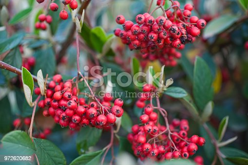 Bright red mass of berries on a firethorn, Pyracantha coccinea, garden shrub in autumn,