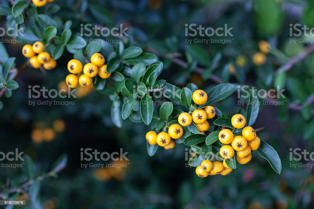 Pyracantha coccinea yellow berries in autumn garden. - Photo