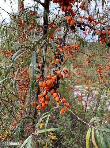 firethorn and orange berries