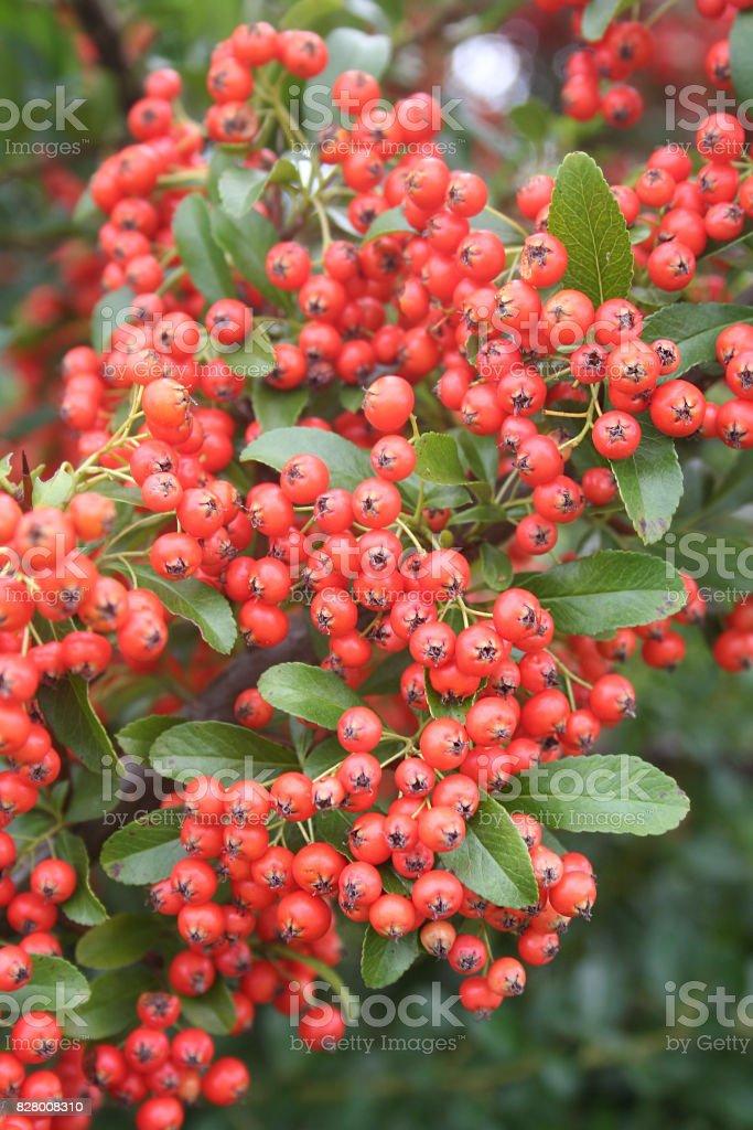 Bush Pyracantha ou buisson ardent - Photo
