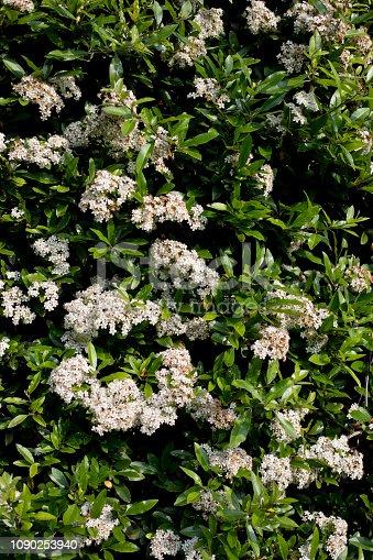 Pyracantha bush in flowerin June, North Yorkshire, England, United Kingdom